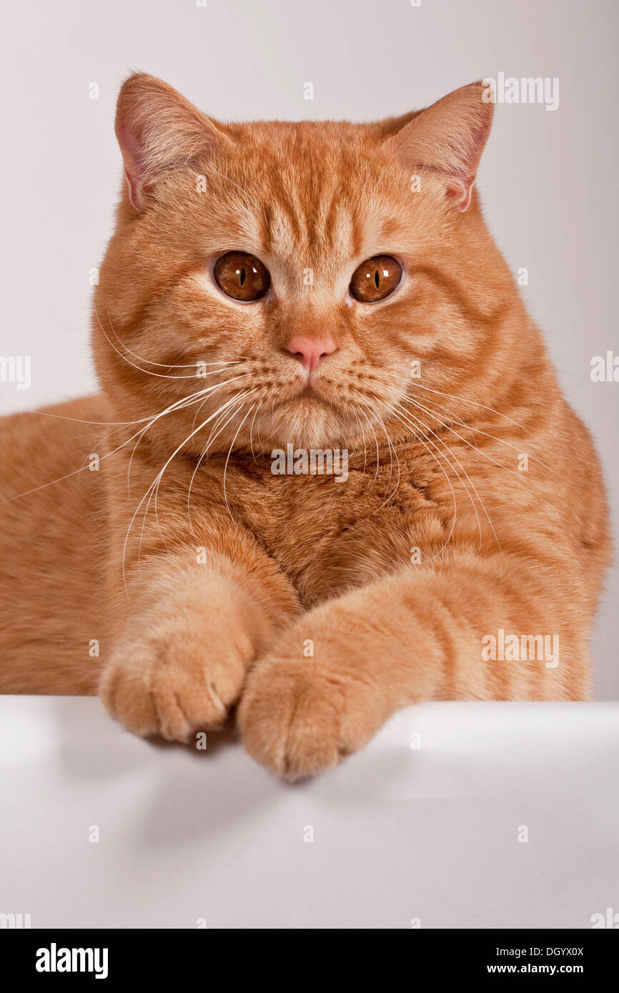 Red British Shorthair cat studio portrait Stock Royalty
