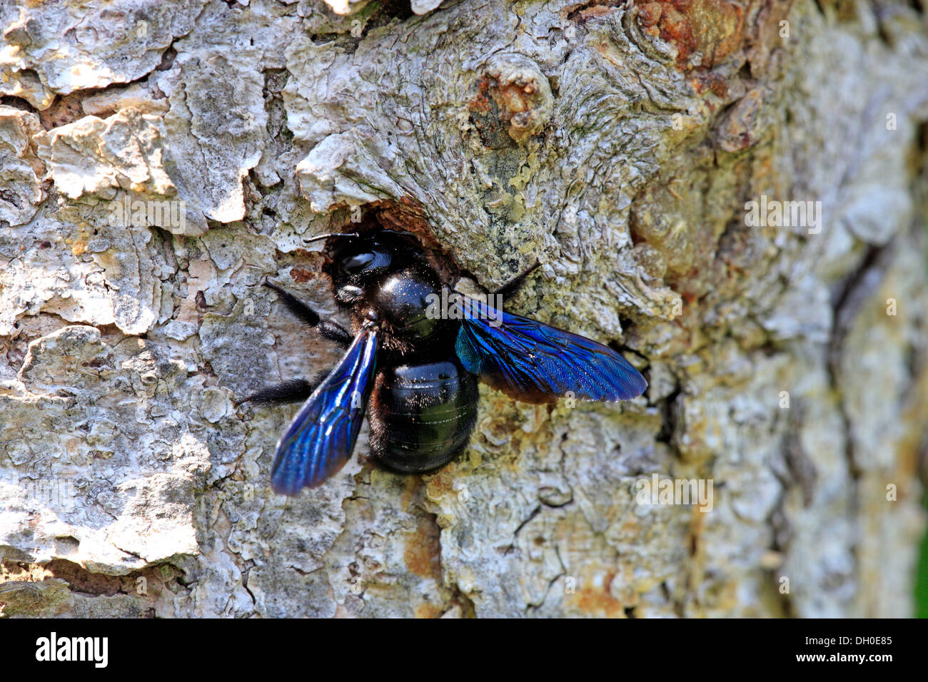 Large Violet Carpenter Bee Xylocopa Violacea At Its Nest Ellerstadt Rhineland Palatinate Germany