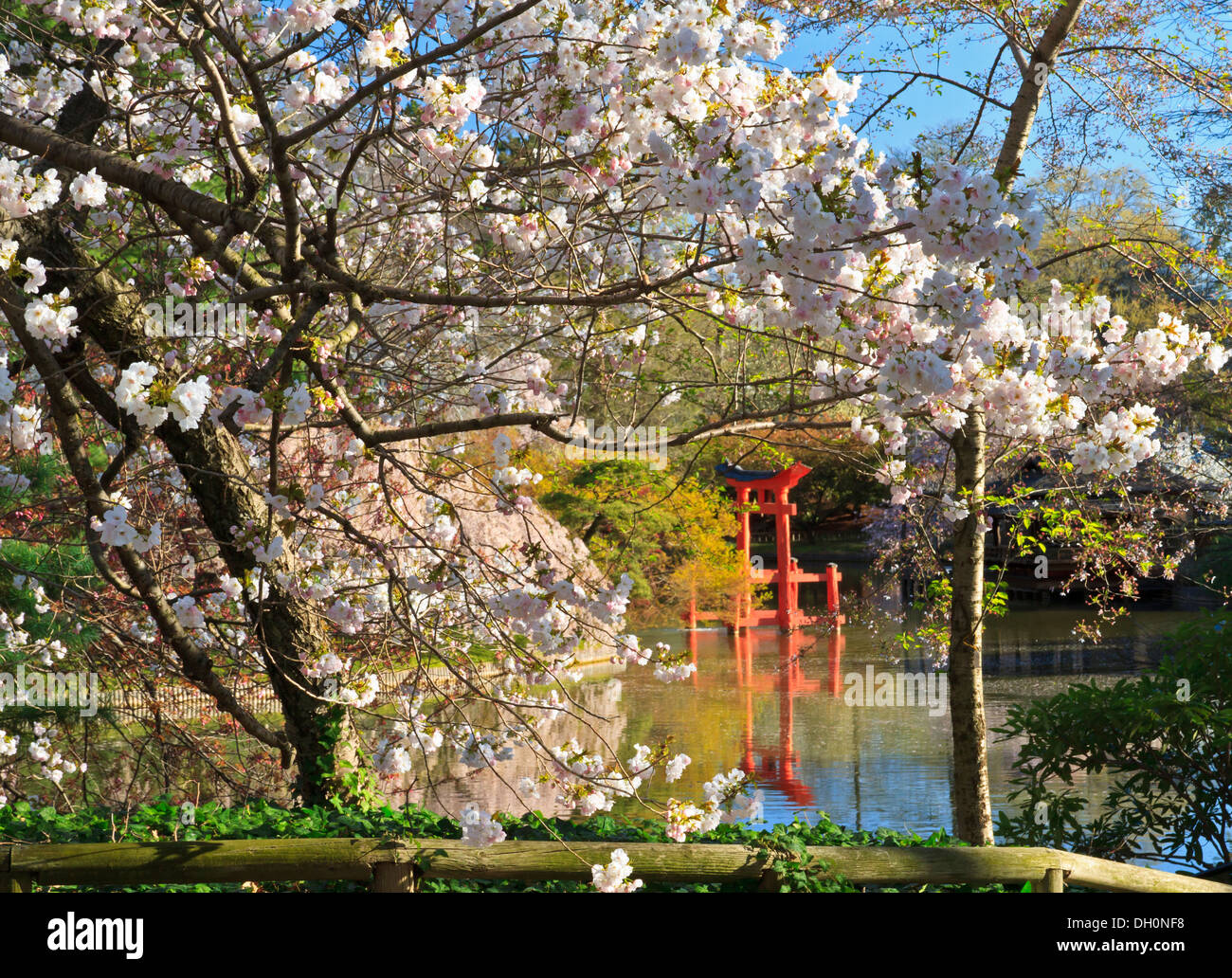 Shinto Shrine And Cherry Blossoms At The Japanese Hill And Pond Garden At  The Brooklyn Botanic Gardens On A Sunny Spring Day