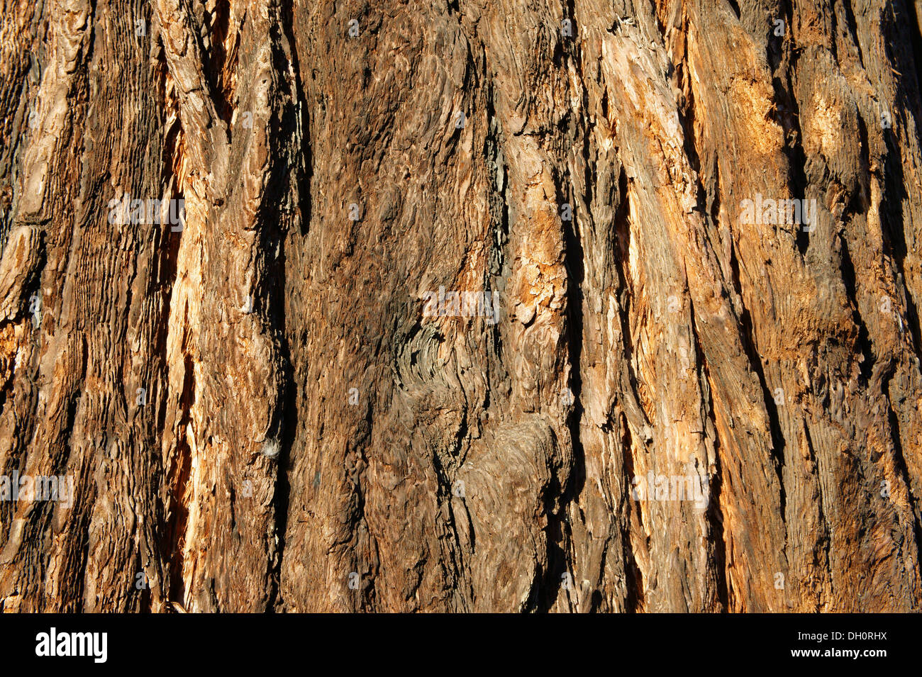 close-up-of-bark-on-the-trunk-of-a-calif
