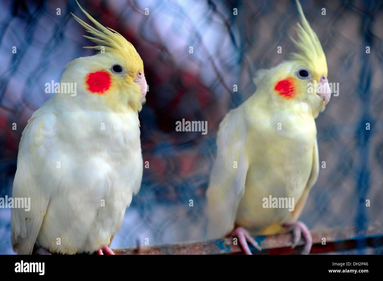 pearl pied cockatiel birds for sale in bird market kolkata india