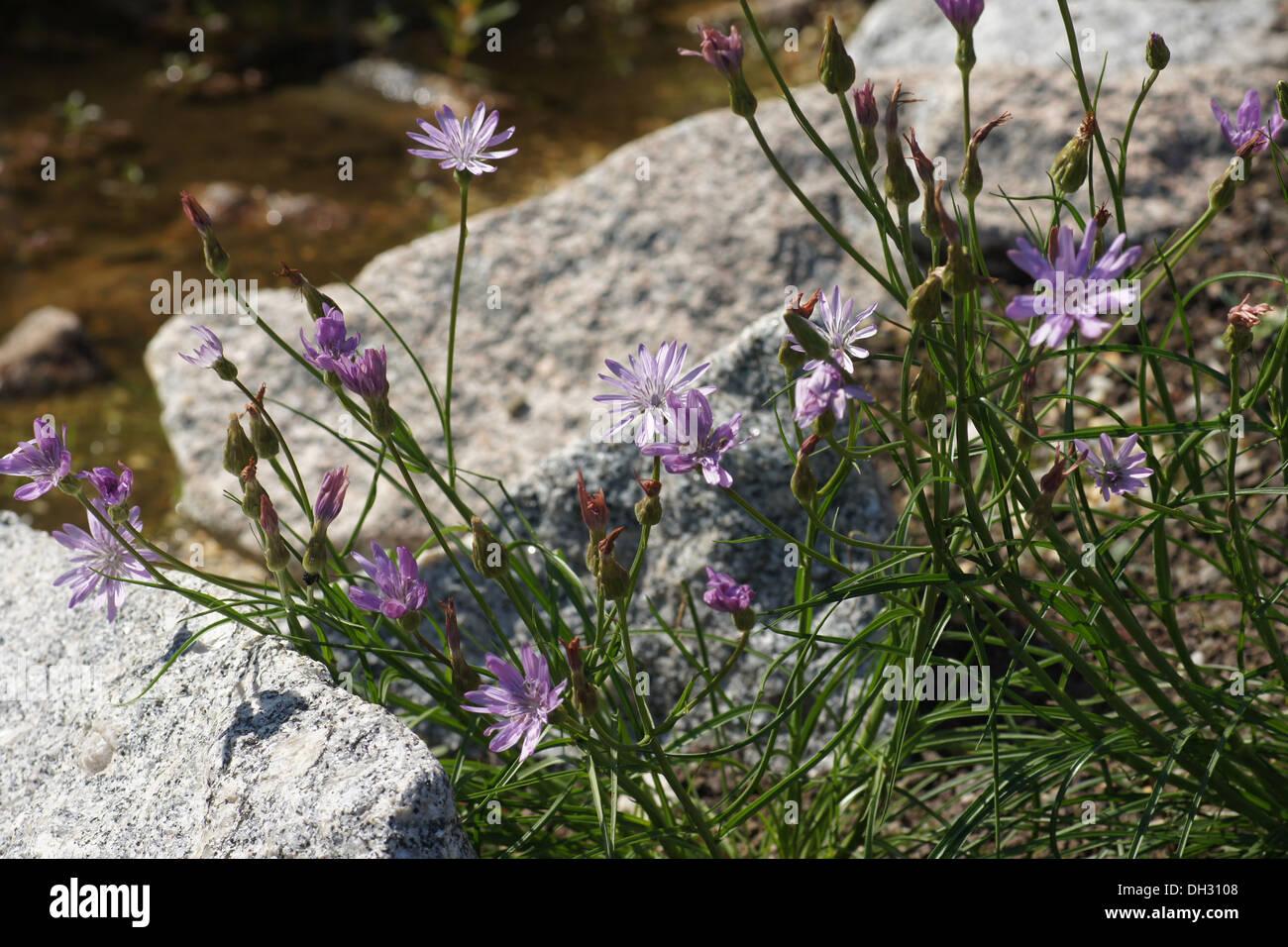 Tragopogon porrifolius - Wikipedia