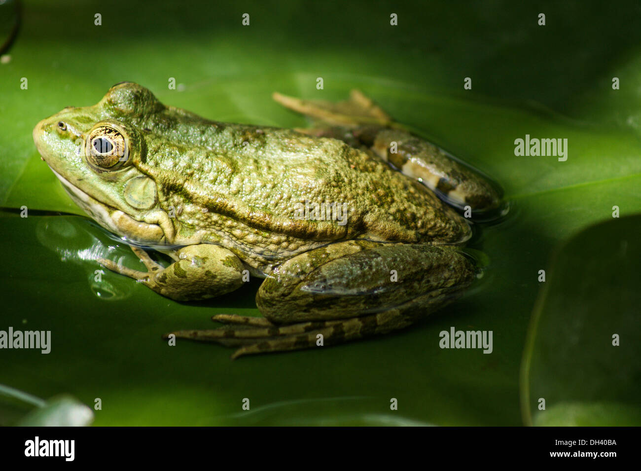 close up of green frog on lily pad stock photo royalty free image