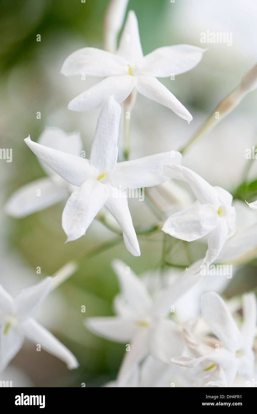 Jasmine close view of white flowers of jasminum polyanthum stock jasmine close view of white flowers of jasminum polyanthum izmirmasajfo Choice Image