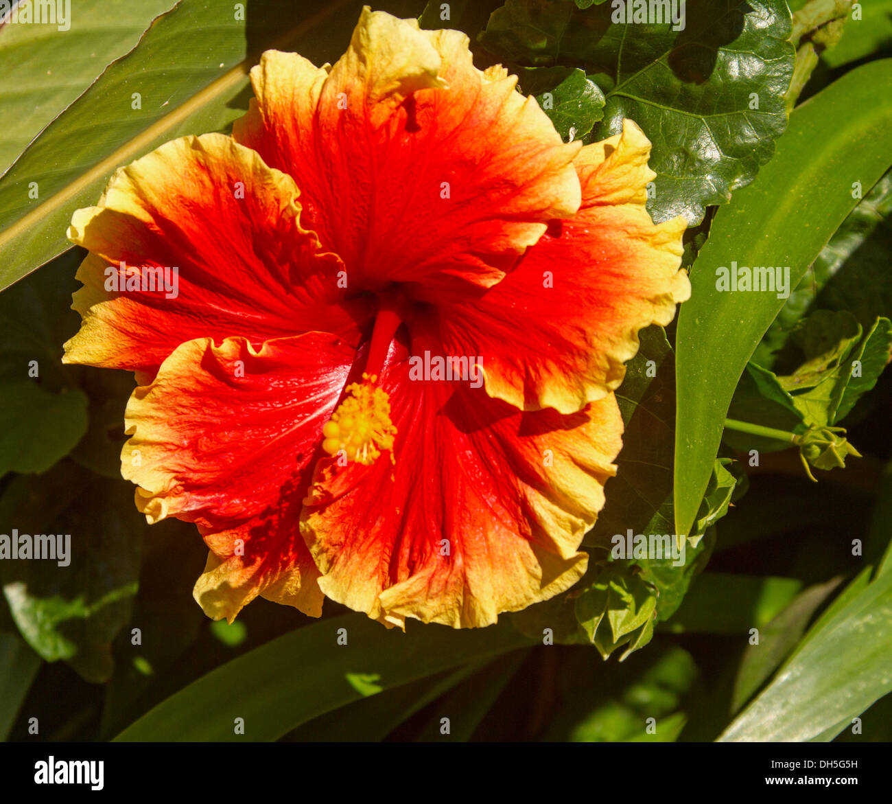 Spectacular Vivid Red Hawaiian Hibiscus Flower With Ruffled Edges Trimmed Golden Yellow On Background Of Green Foliage