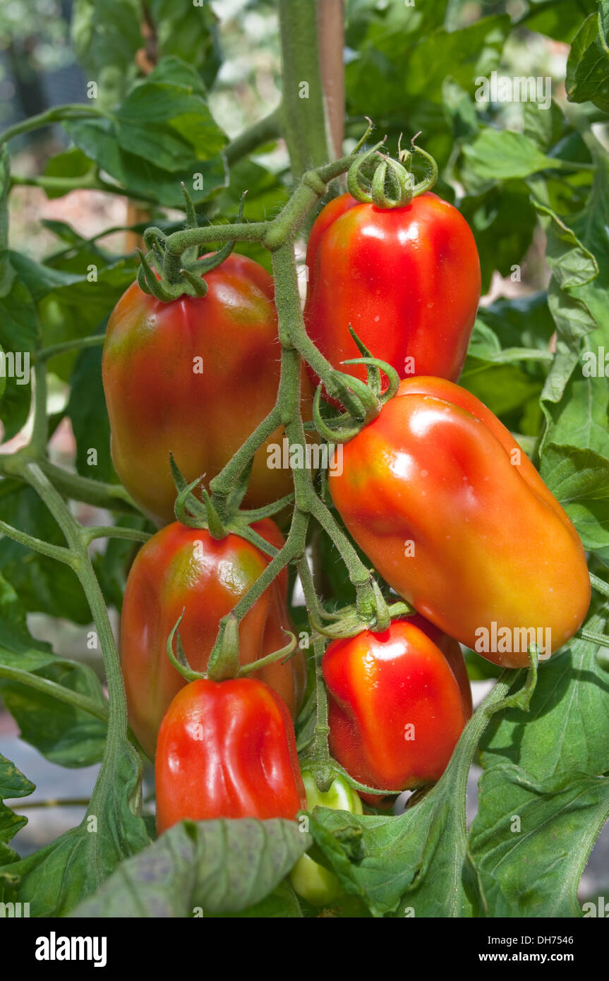 how to grow truss tomatoes