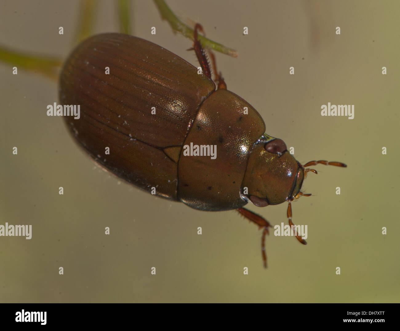 Water Scavenger Beetle Larvae