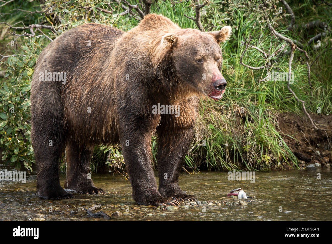 Large Male Grizzly Bear Ursus Arctos Gyas Having A Meal