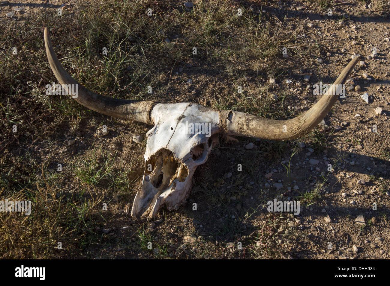 longhorn skull stock photos u0026 longhorn skull stock images alamy