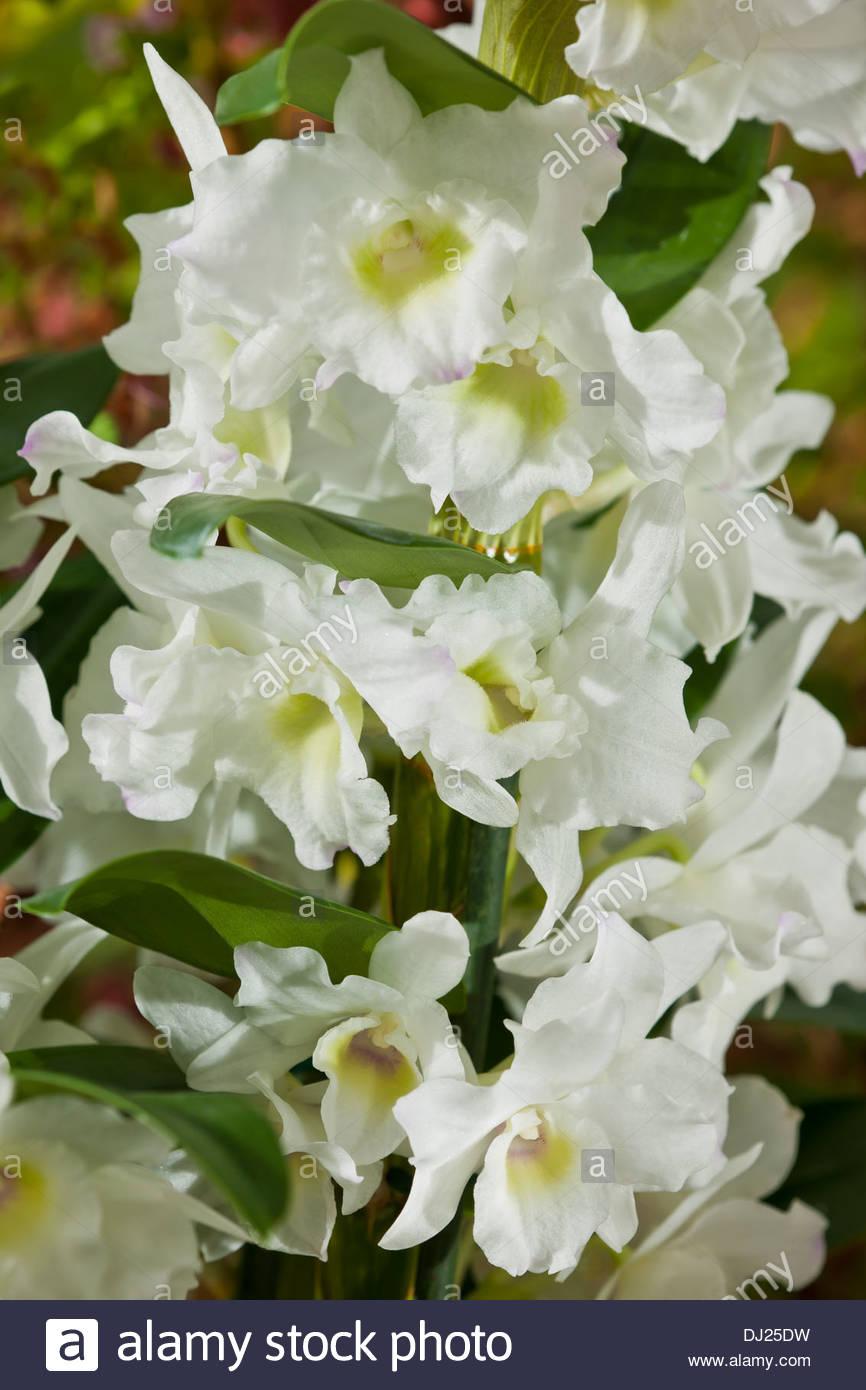 noble orchid Dendrobium nobile hybrid houseplant house ...