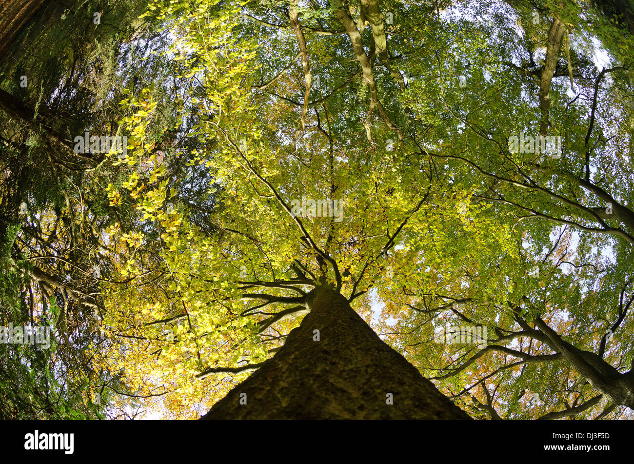 Thick well established tree canopy in protected ancient mature deciduous forest looking up skyward at autumn color leaves & Thick well established tree canopy in protected ancient mature ...