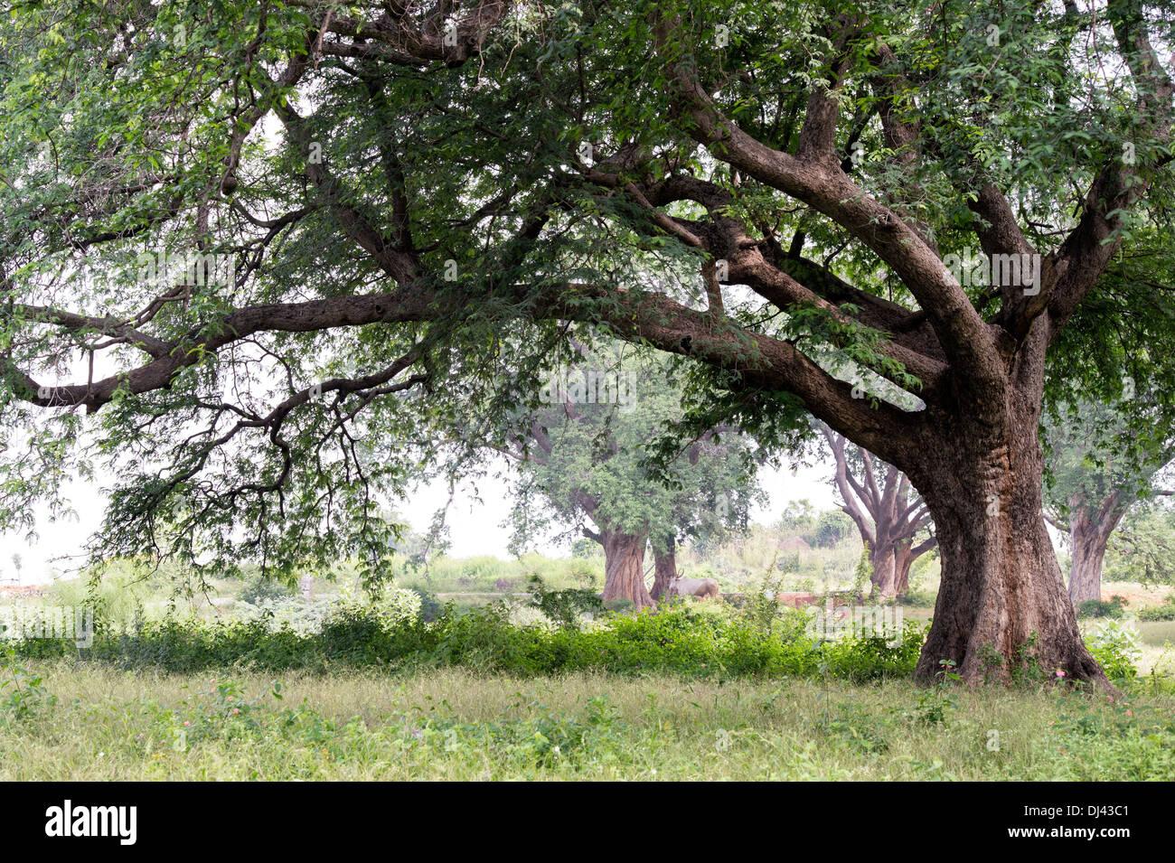 tamarindus indica . tamarind tree trunk in the indian countryside, Beautiful flower