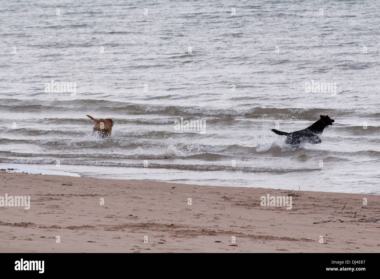 2-dogs-a-black-labrador-and-a-golden-lab