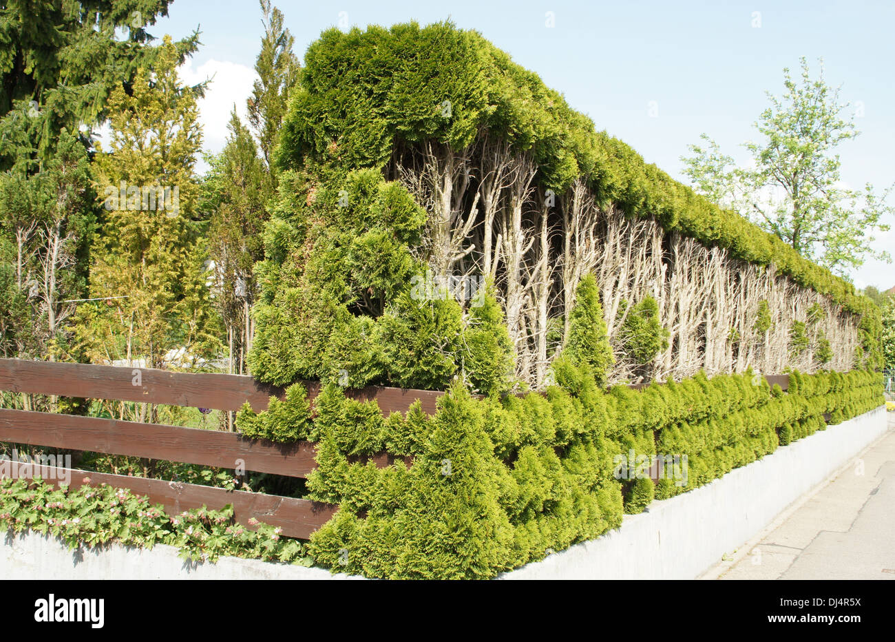 Red Cedar Hedge ~ White cedar hedge stock photo royalty free image