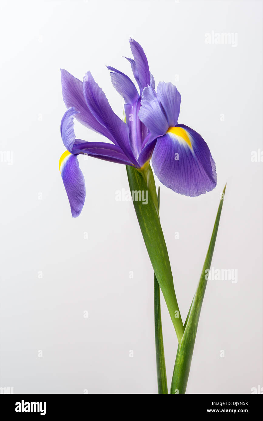 iris flower with stem and leaves in closeup against plain stock, Beautiful flower
