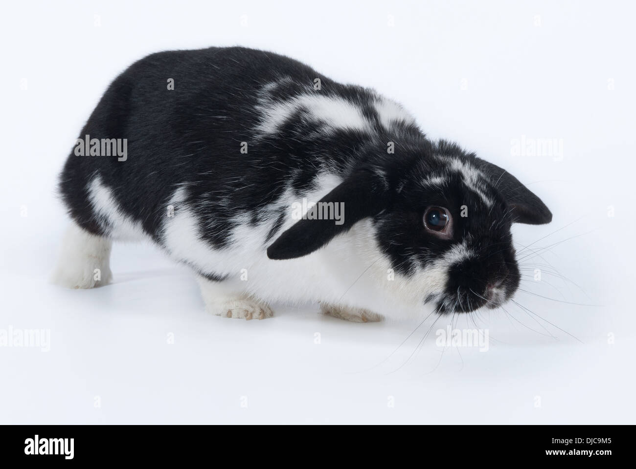 Black and white rabbit breed