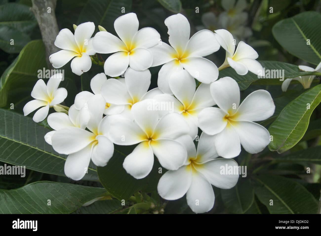 white plumeria wallpaper