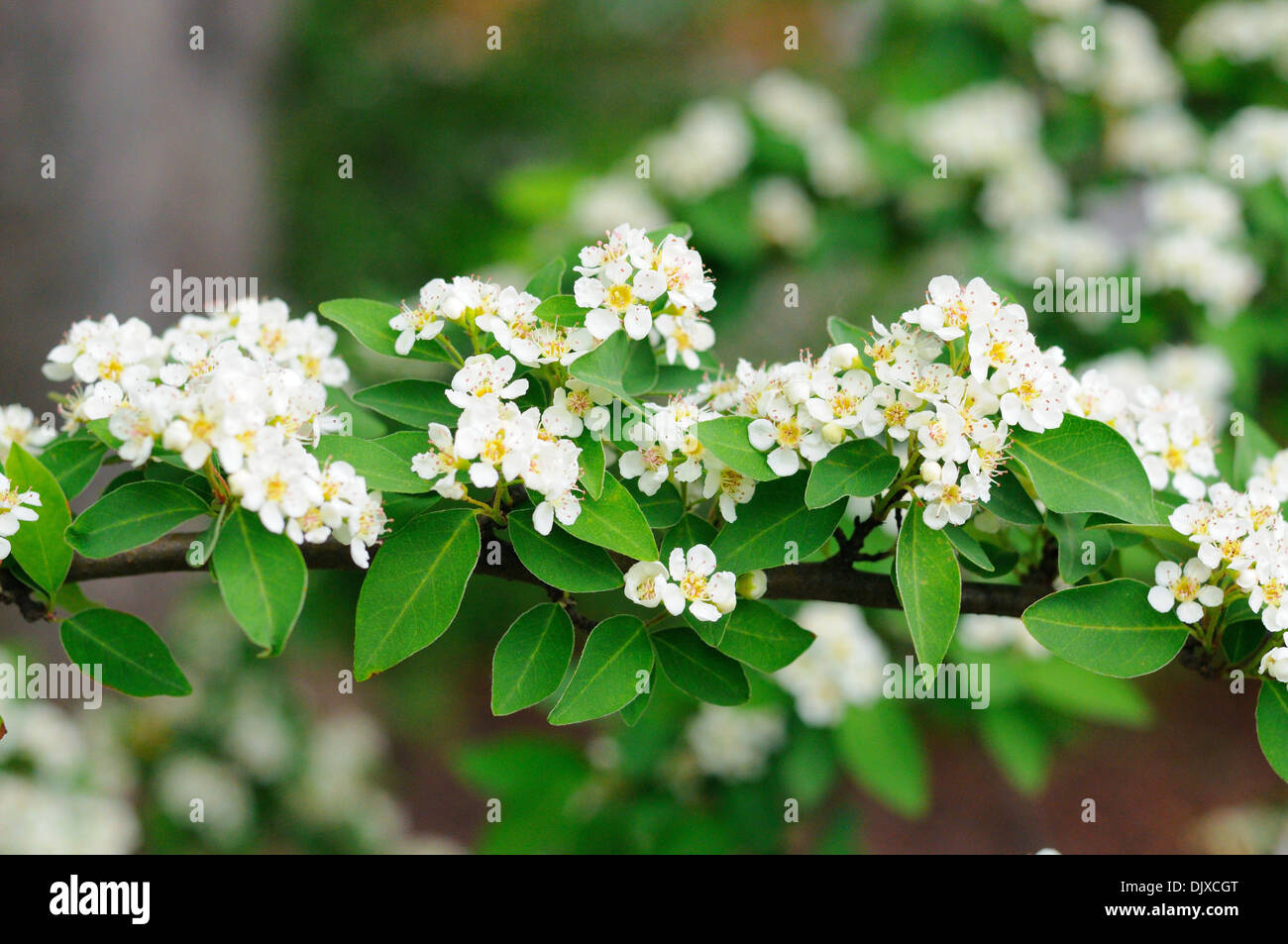 Generous white flowering cherry tree varieties contemporary great white flowering cherry pictures inspiration images for mightylinksfo Images