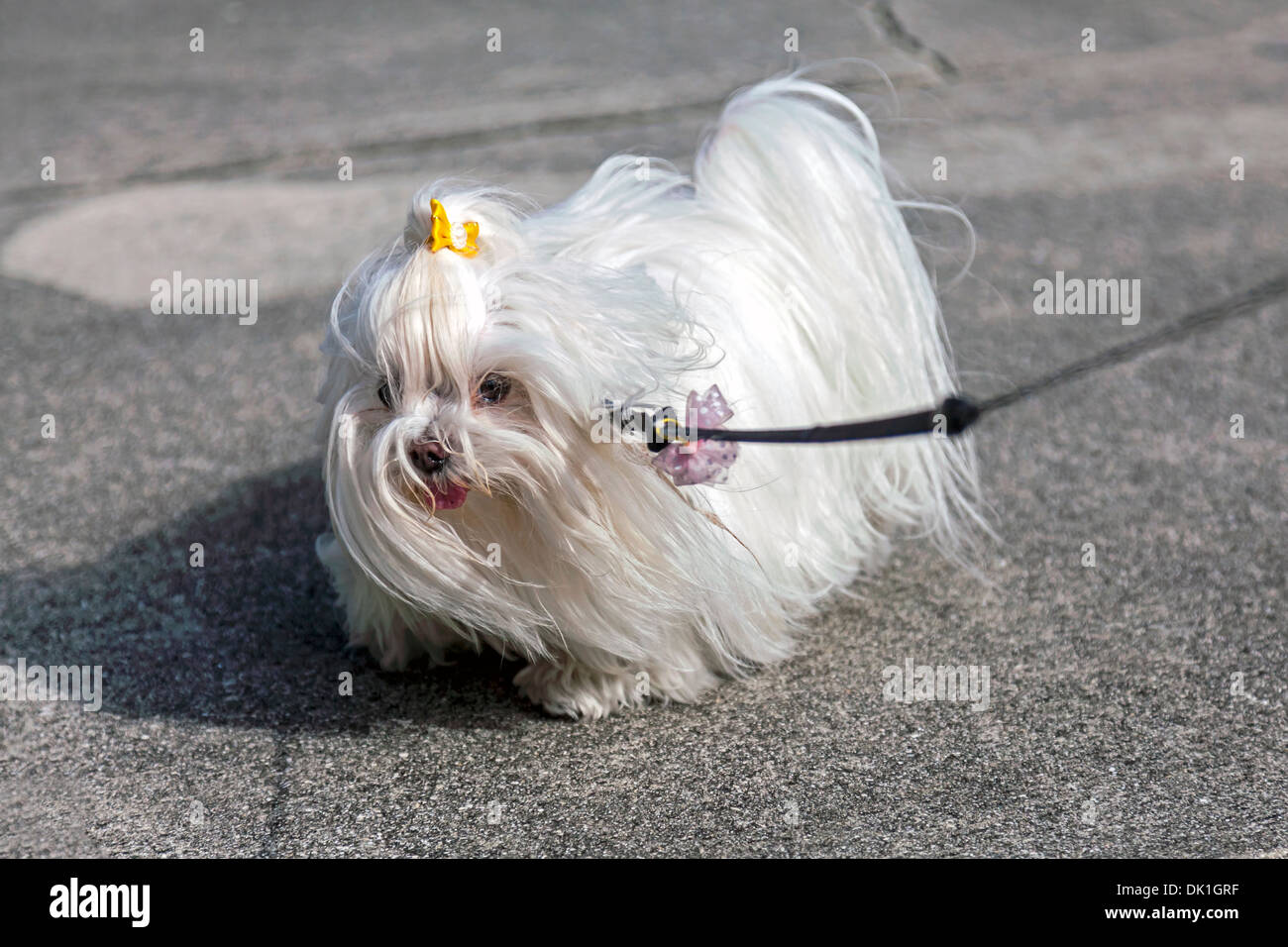 silky dog white. small maltese dog with long, silky white hair, yellow and pink polka dotted bows, out for an afternoon walk in ft. lauderdale.