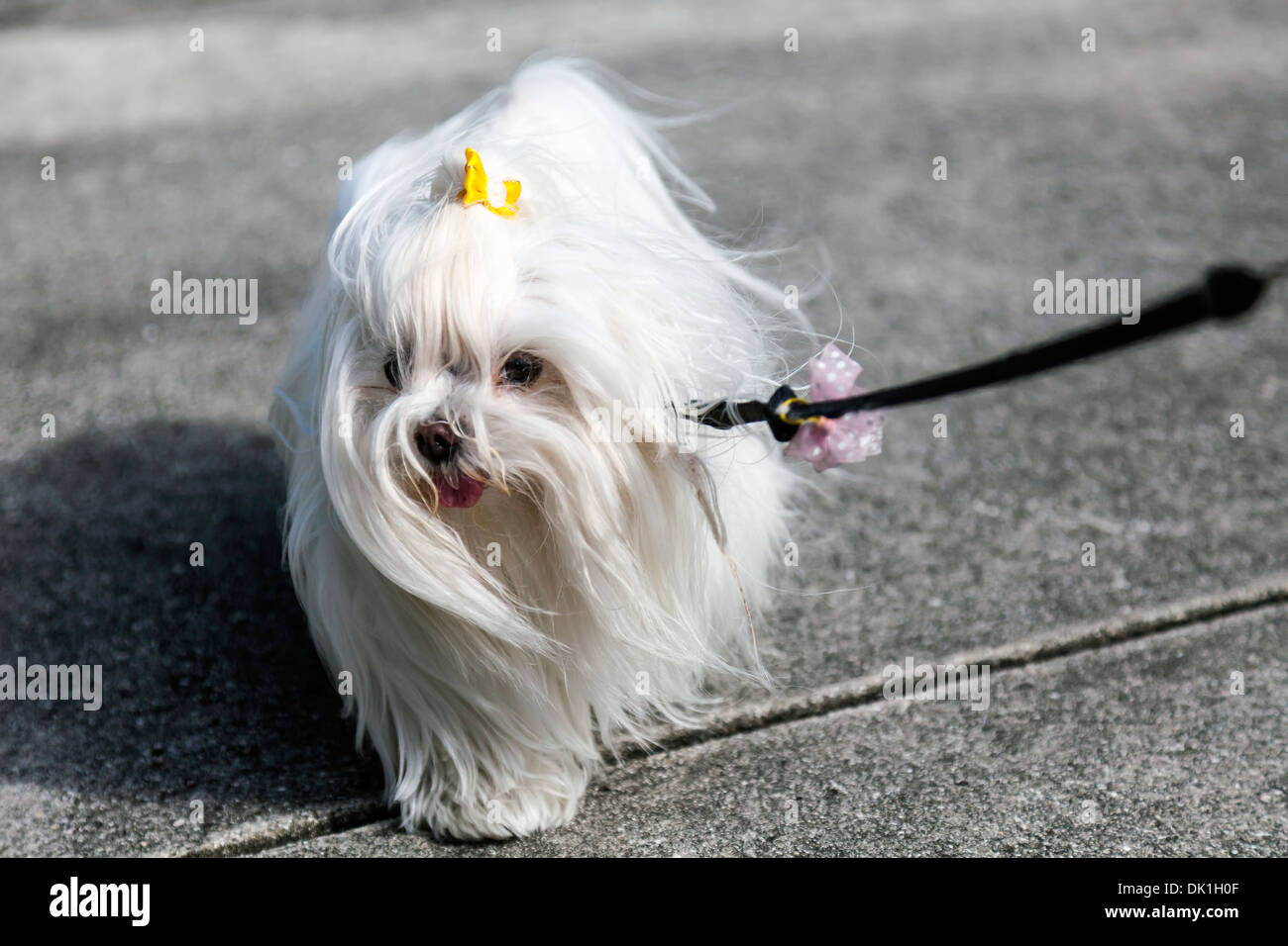 silky dog white. small maltese dog with long, silky white hair, yellow and pink polka dotted bows, out for an afternoon walk in ft. lauderdale. g