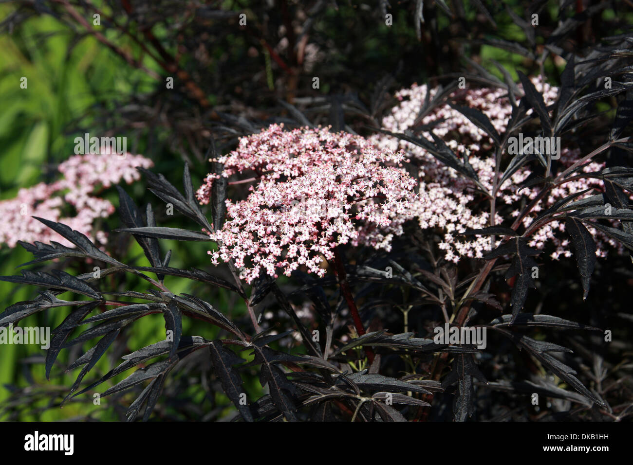 black lace elderberry sambucus nigra 39 black lace 39 adoxaceae stock photo royalty free image. Black Bedroom Furniture Sets. Home Design Ideas