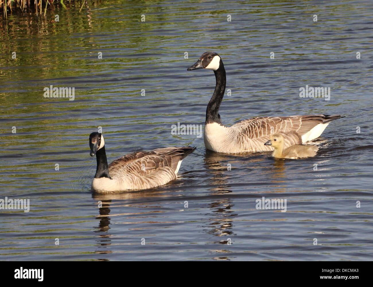 canada goose branta buy online