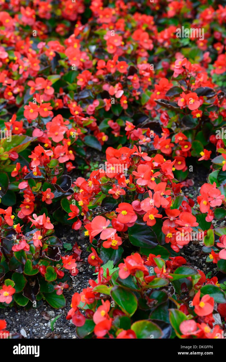 begonia semperflorens flowers flowering blooms annuals red pink stock photo royalty free image. Black Bedroom Furniture Sets. Home Design Ideas