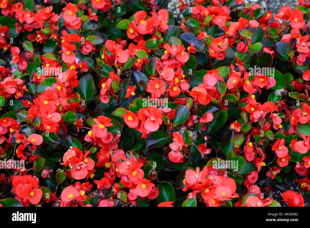 begonia semperflorens flowers flowering blooms annuals red pink Stock