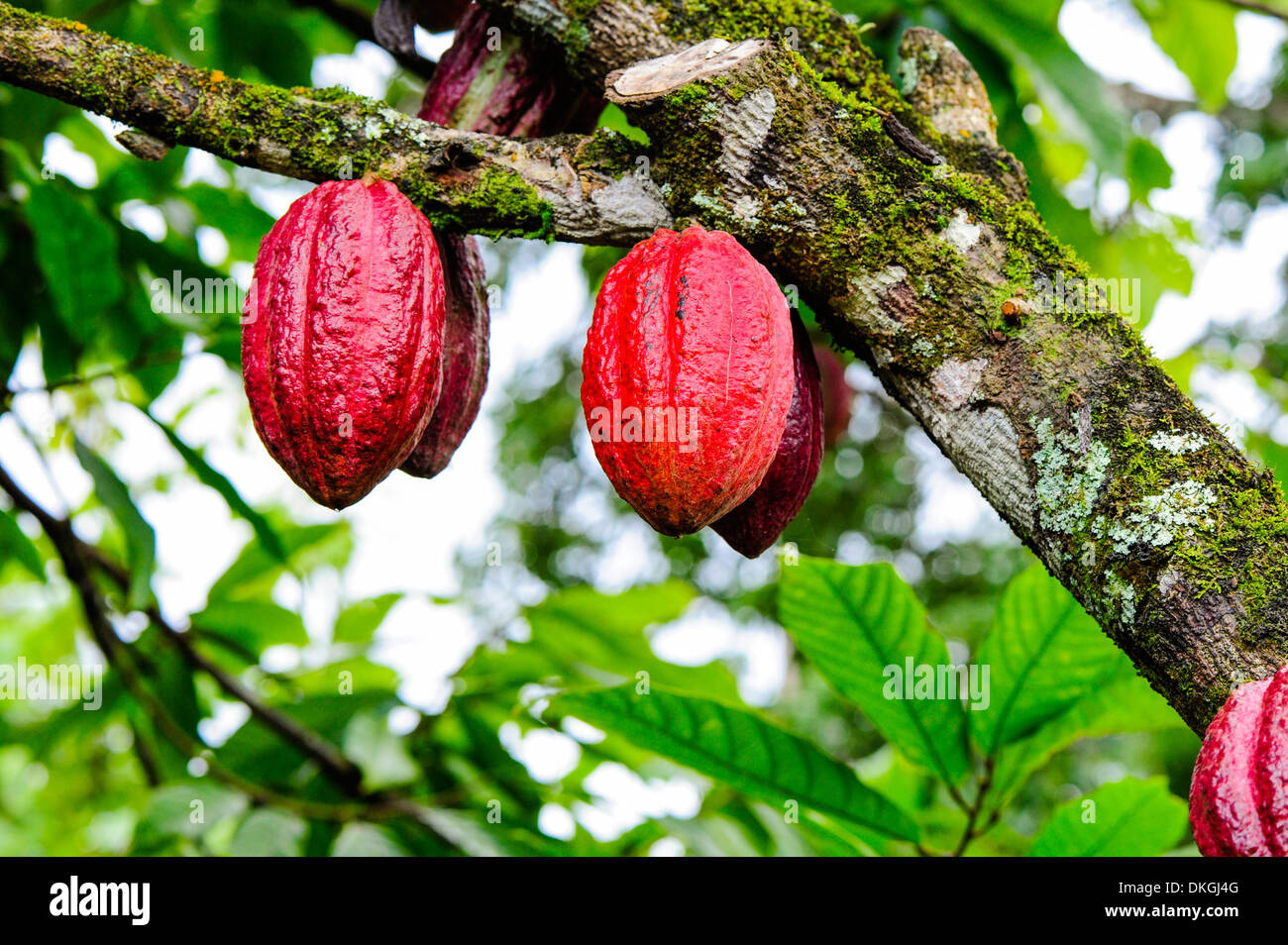 Cacao tree with red fruits baracoa cuba stock photo royalty cacao tree with red fruits baracoa cuba sciox Image collections