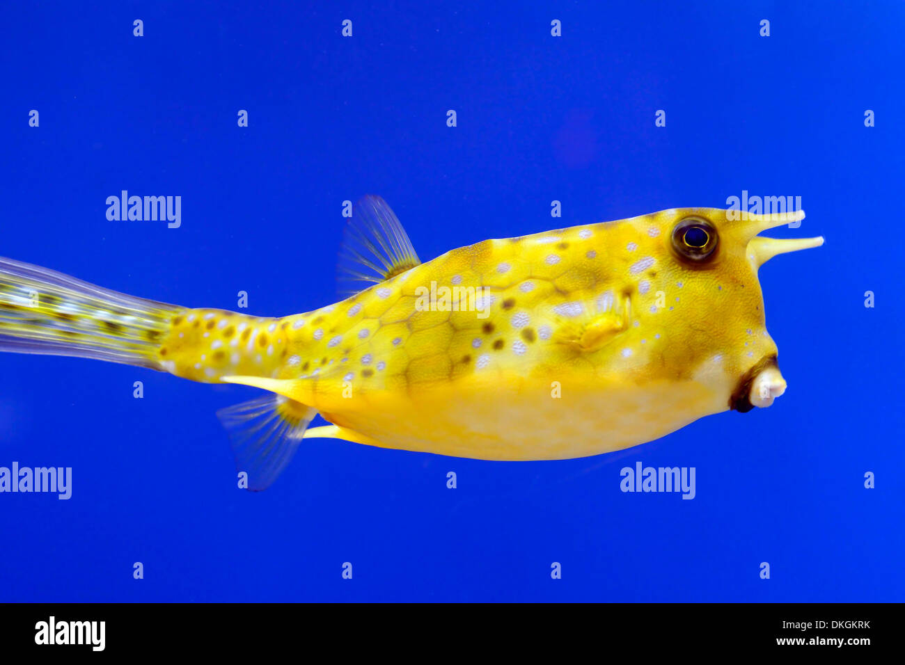 longhorn cowfish lactoria cornuta yellow fish blue background contrast contrasting color colour colors stock image