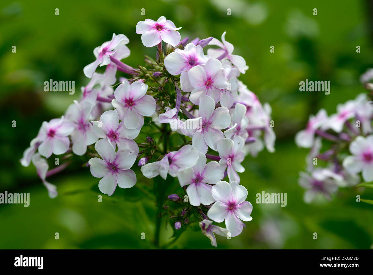 Phlox paniculata white flowers pink eye perennial stock photo stock photo phlox paniculata white flowers pink eye perennial dhlflorist Image collections