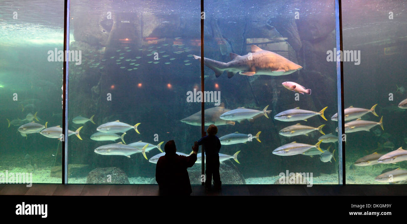 Freshwater aquarium fish in south africa - Stock Photo Predator Exhibit Exhibition Two Oceans Aquarium Cape Town South Africa Shark Carnivorous Fish Carnivores Man And Child Watching