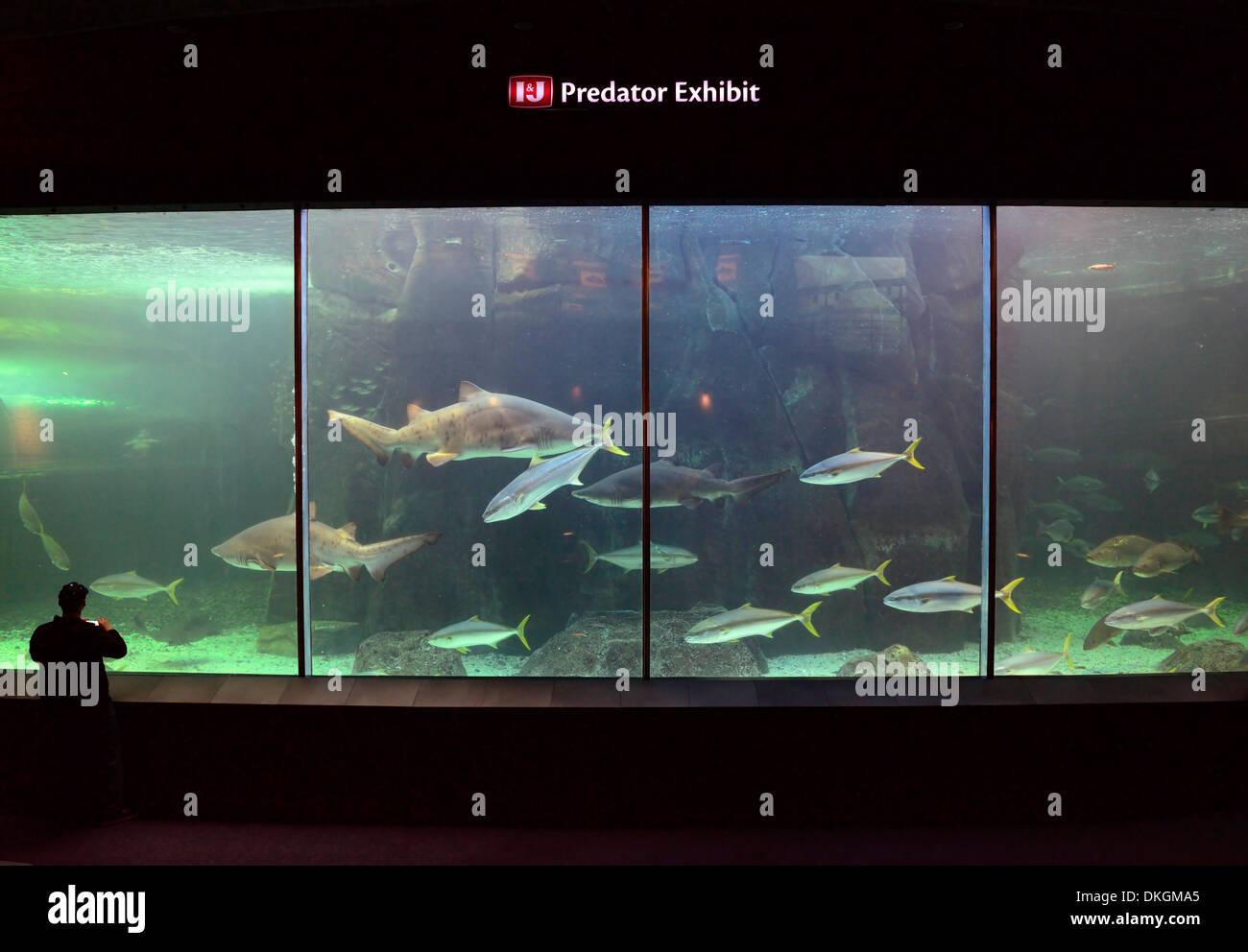 Freshwater aquarium fish cape town - Stock Photo Predator Exhibit Exhibition Two Oceans Aquarium Cape Town South Africa Shark Carnivorous Fish Carnivores Man Watching