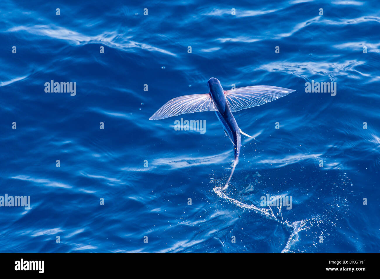 Flying fish from the family exocoetidae taking flight near for The flying fish