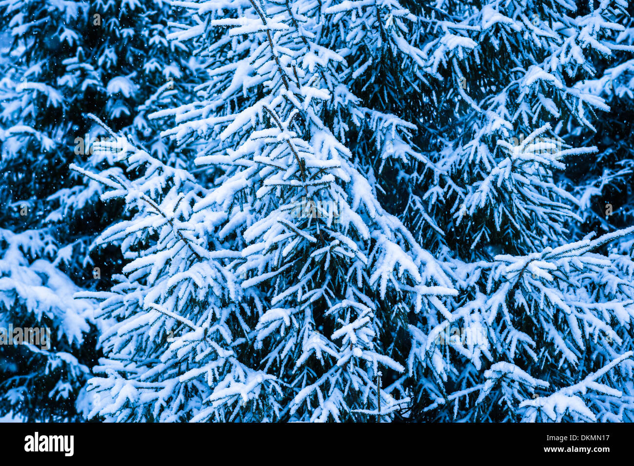 Stock Photo   Winter Snow Christmas Tree 2. Fresh Snow Covered Spruce Trees  In The Forest In Snowstorm. Dark Green, Blue And White Colors