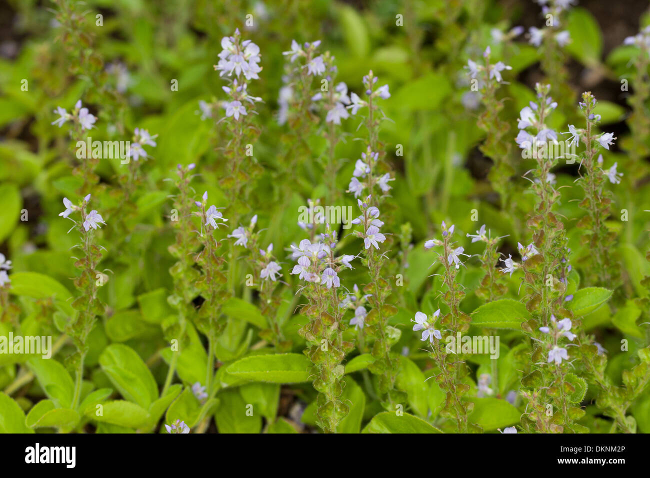 heath speedwell common speedwell common gypsyweed paul. Black Bedroom Furniture Sets. Home Design Ideas