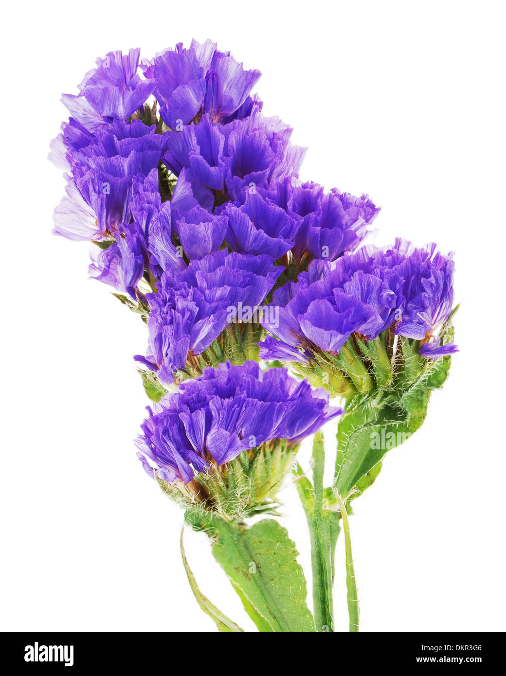 macro of purple statice flowers isolated on white background