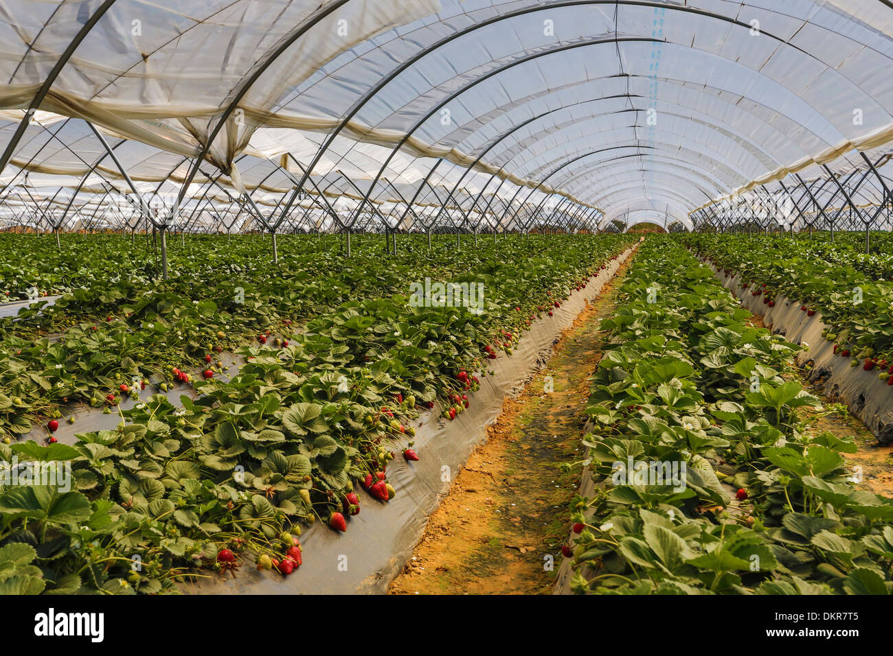 STRAWBERRY INDUSTRY IN CHINA