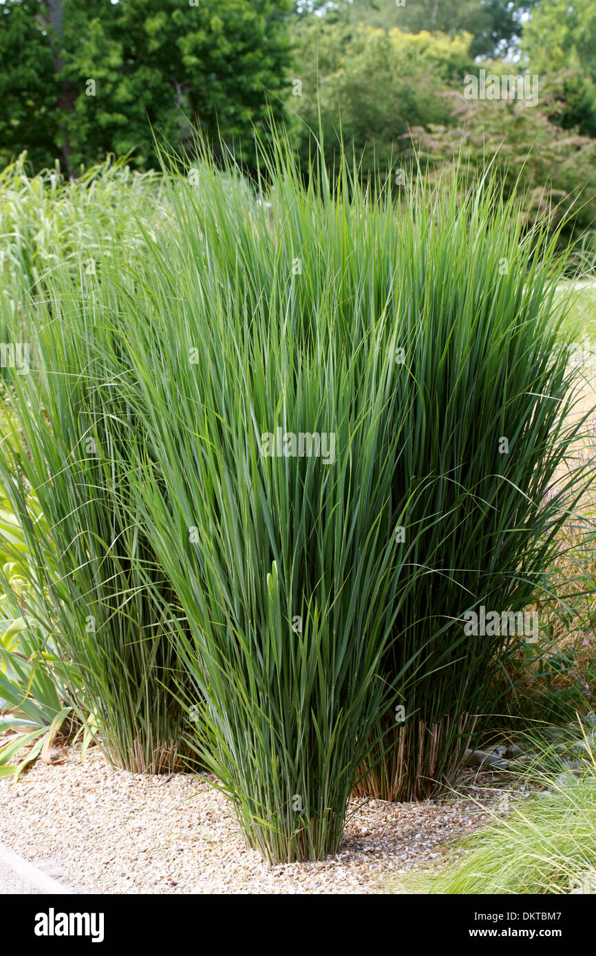 switchgrass panicum virgatum northwind poaceae north america stock photo 63845607 alamy. Black Bedroom Furniture Sets. Home Design Ideas