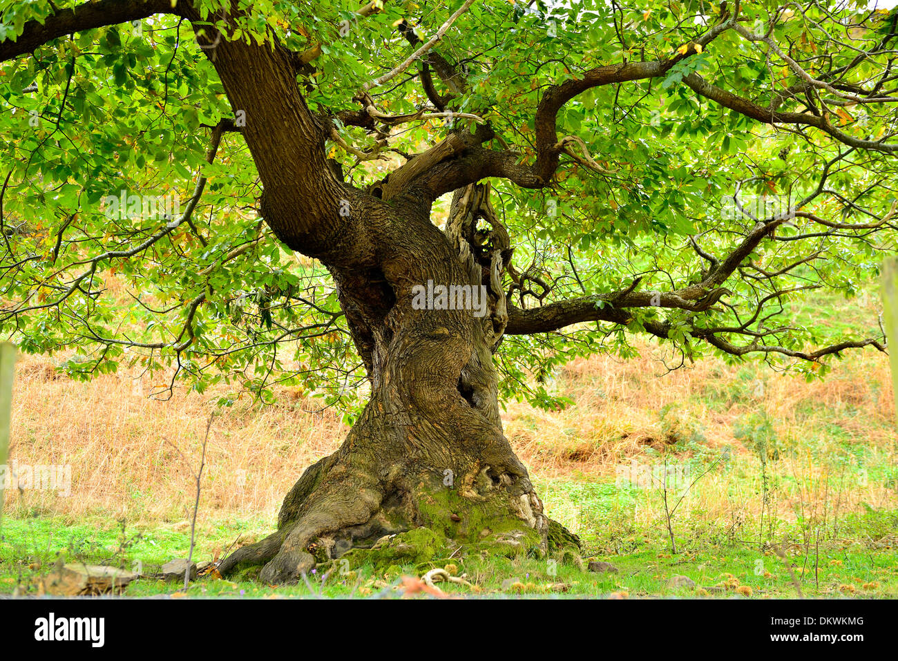 Big Chestnut tree Stock Photo Royalty Free Image 63873840 Alamy