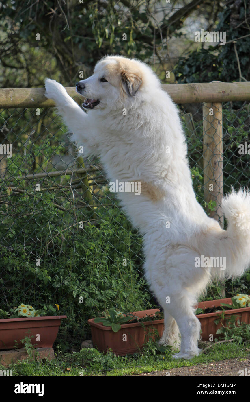 Pyrenean Mountain Dog Standing On It S Hind Legs At A