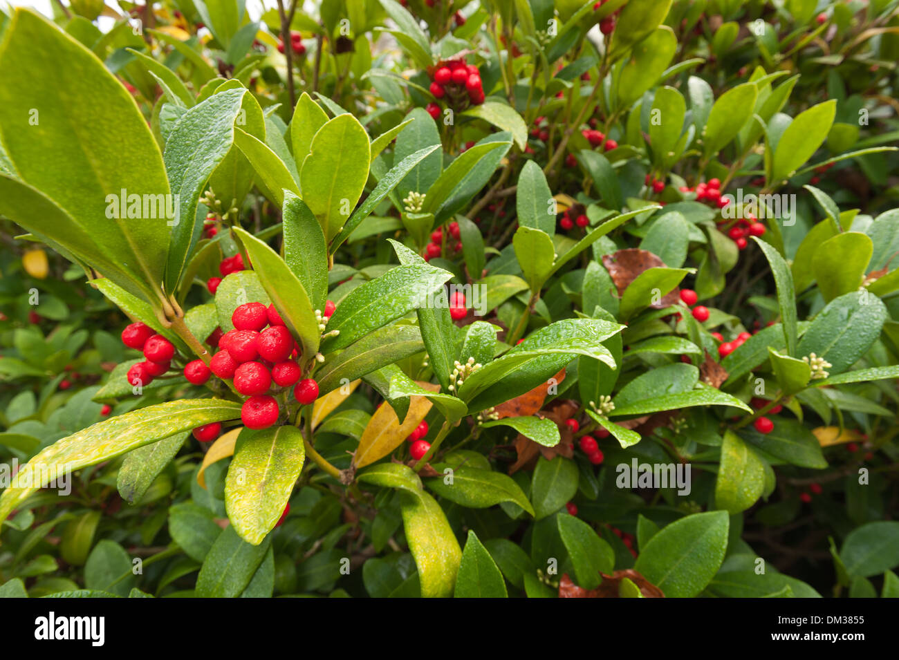 Landscaping Shrubs With Red Berries : A winter wonderland evergreen shrub with glossy leaves and