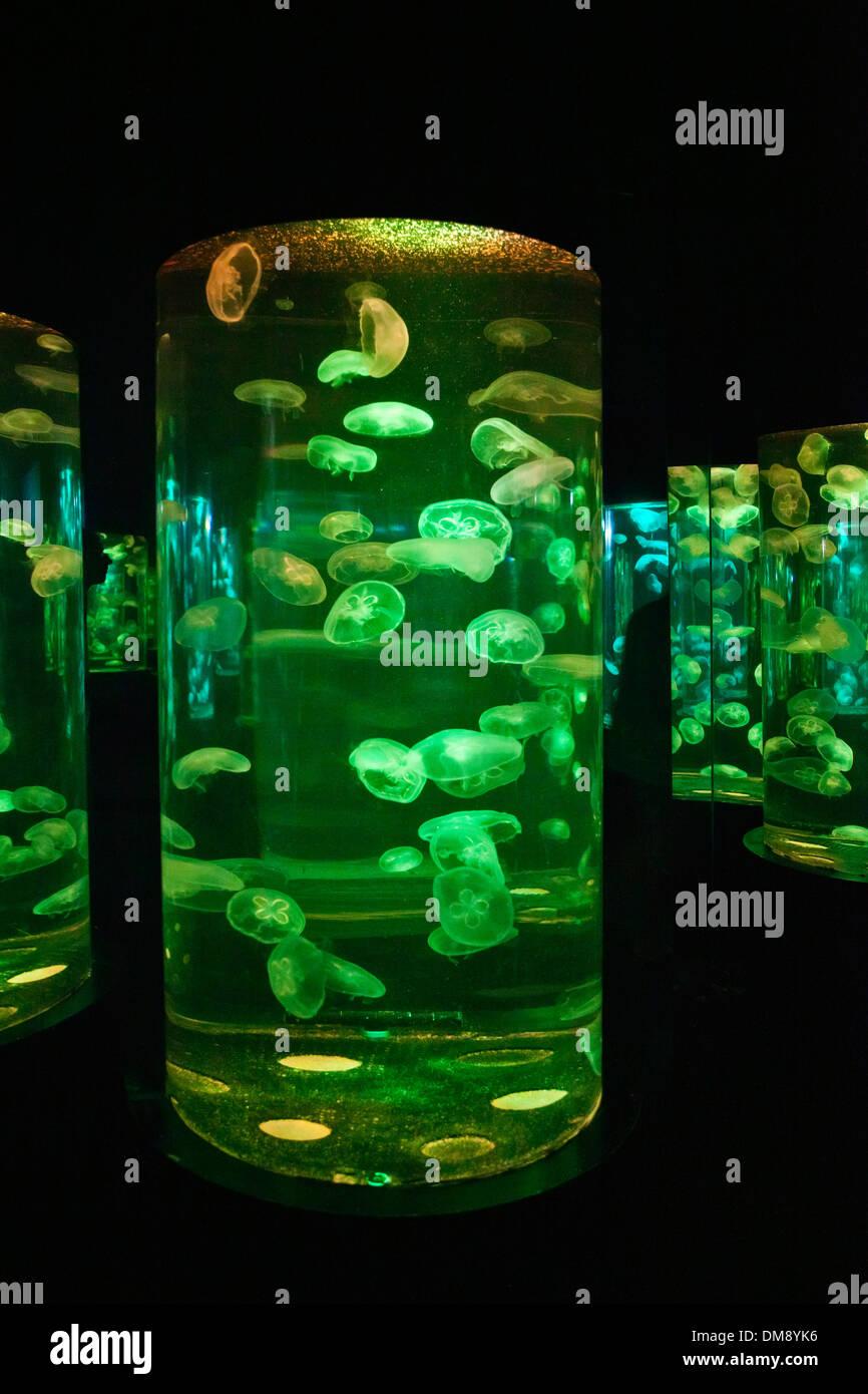 MOON JELLYFISH (Pairi daiza) on display at the RAYONG AQUARIUM Stock Photo, R...