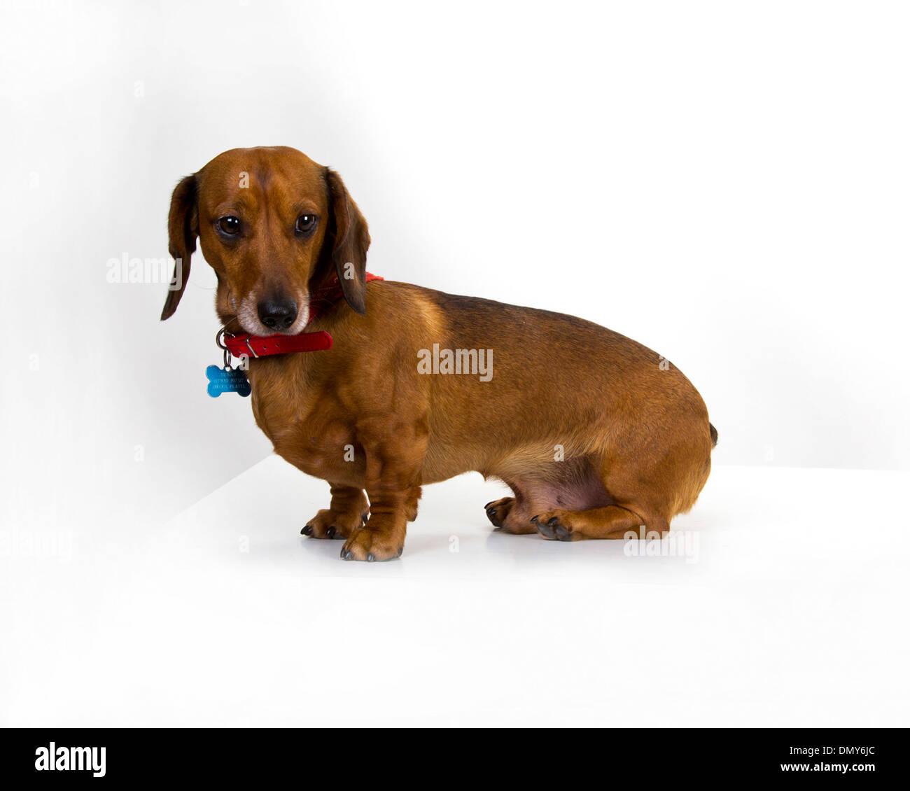 Is a dachshund a pedigree