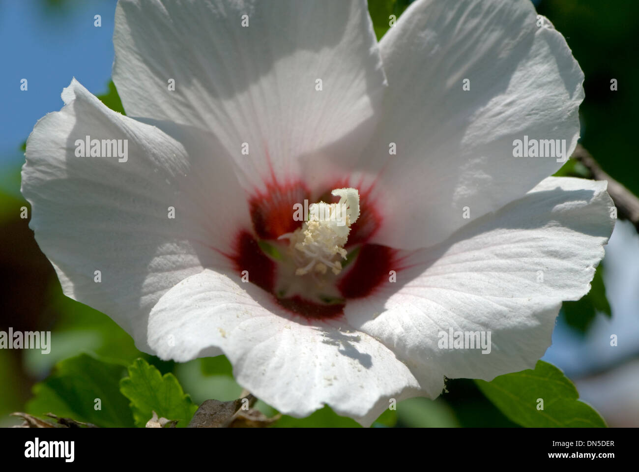 Center of a hibiscus flower best flower 2017 hibiscus flower meaning izmirmasajfo Choice Image