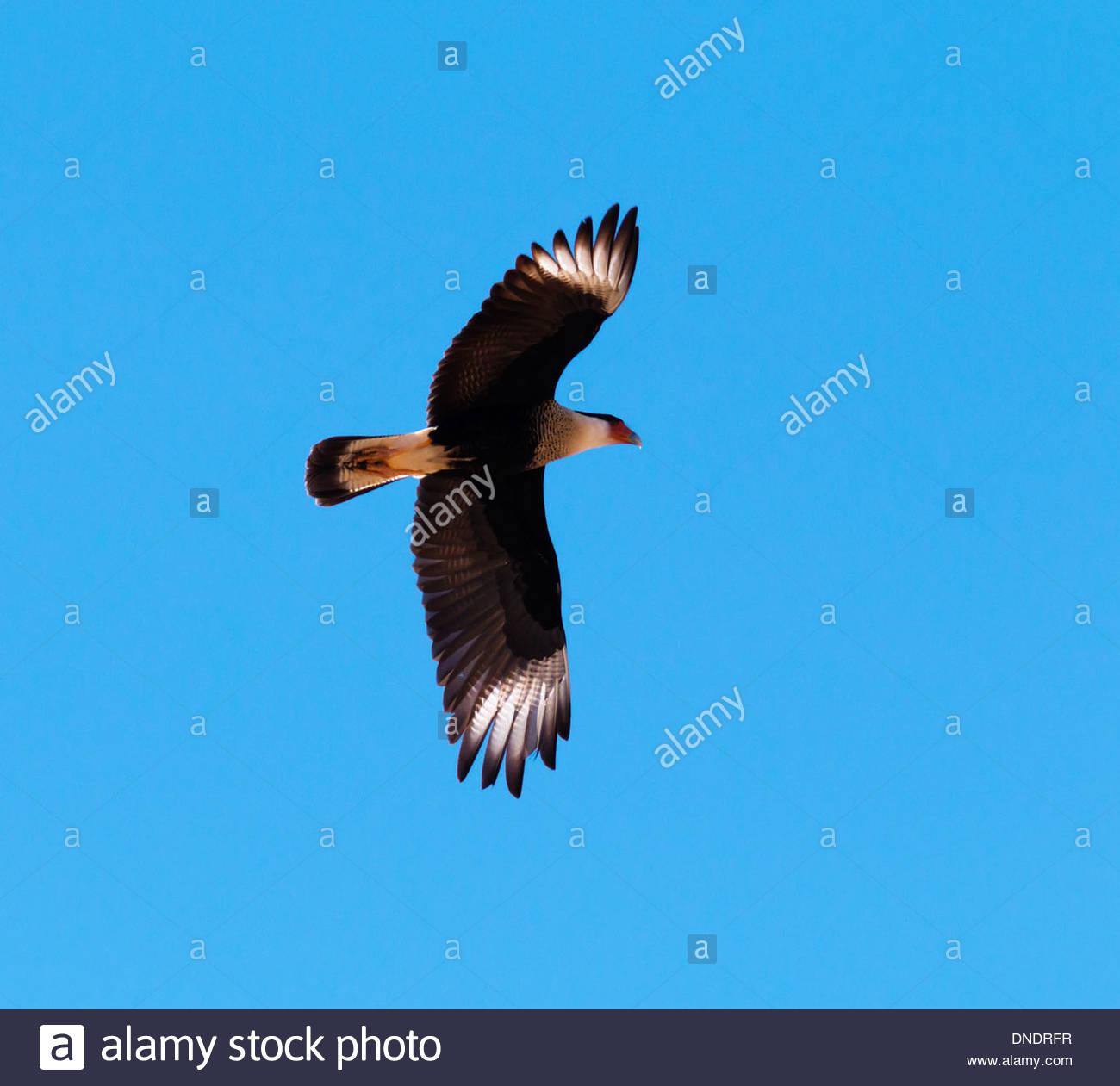 crested caracara caracara cheriway mexican eagle flying arizona