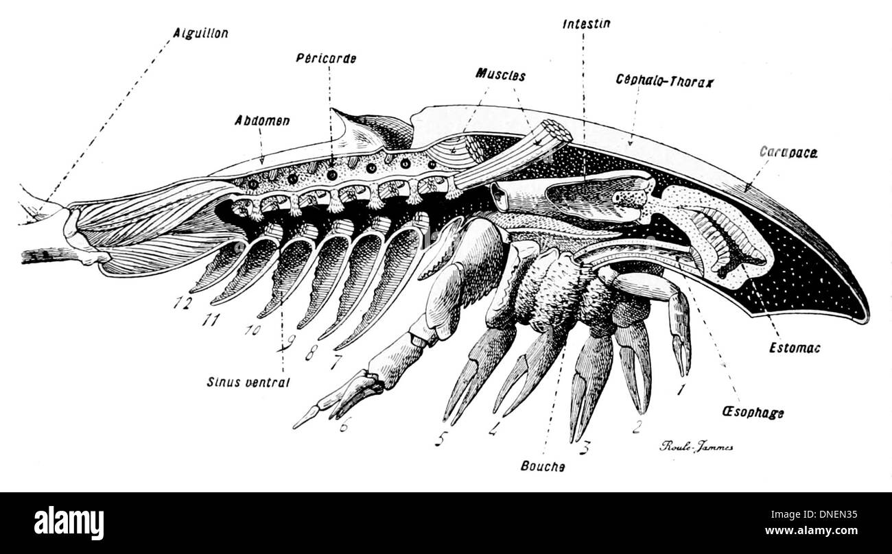 Horseshoe crab anatomy 1097253 - follow4more.info