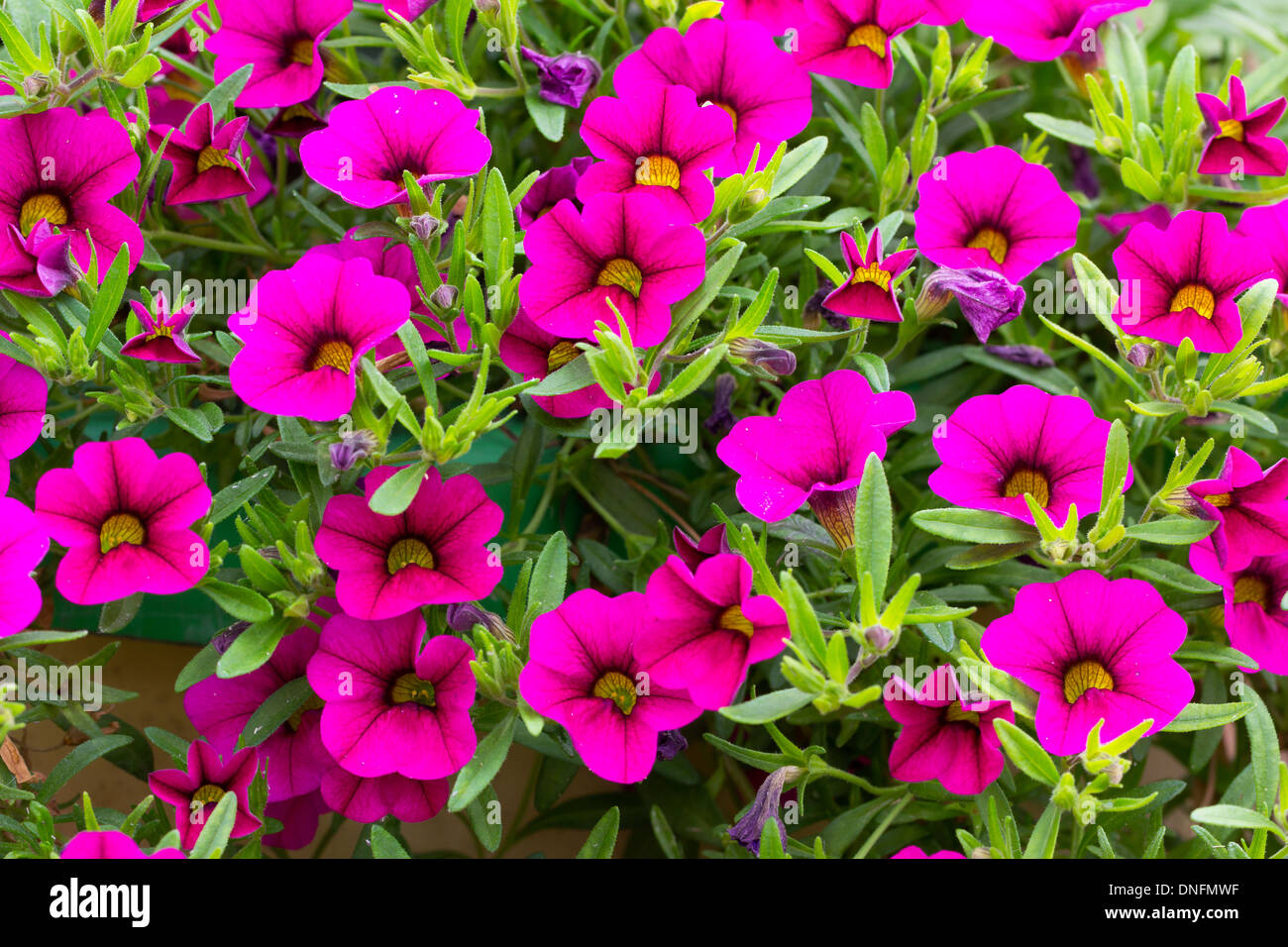 petunia 39 bouquet brilliant pink 39 calibrachoa million bells bouquet stock photo royalty free. Black Bedroom Furniture Sets. Home Design Ideas