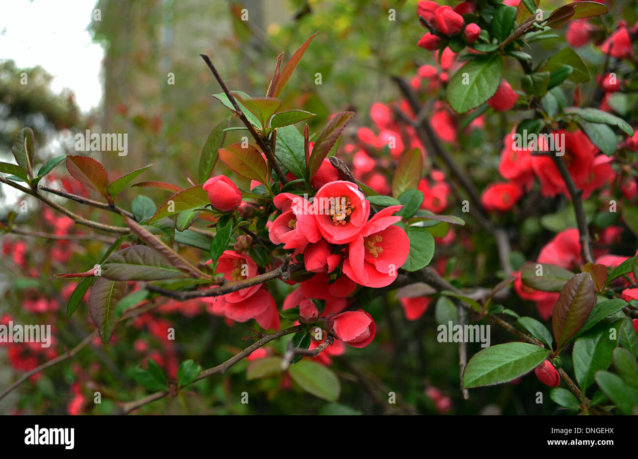 Beautiful flower blossoming blossoming tree bush with for Tree with red flowers