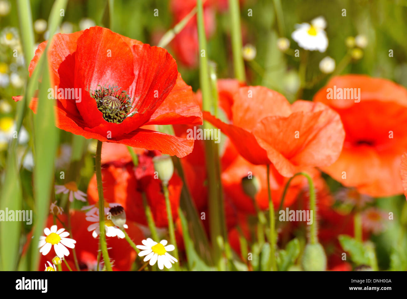 Poppy flower in a field red poppies symbol of remembrance symbol poppy flower in a field red poppies symbol of remembrance symbol of a new summer season dhlflorist Images